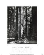 Redwoods, Founders Grove  Fine Art Print