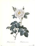 Rosa Alba Flore Pleno  Fine Art Print