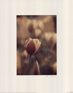 Tinted Tulips II