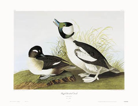 Framed Buffel-Headed Duck Print
