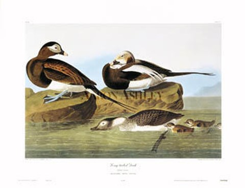 Framed Long-Tailed Duck Print