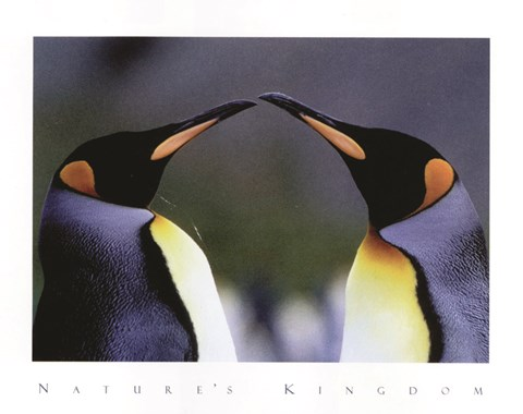 Framed King Penguins Print