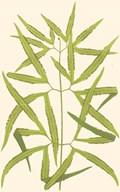 Woodland Ferns I Art
