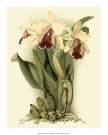 Framed Dramatic Orchid II Print