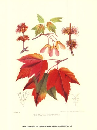 Framed Red Maple Print