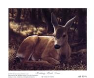 Resting Mule Deer  Fine Art Print