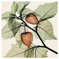 Japanese Lantern  Fine Art Print