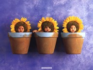 Sunflower Trio Art
