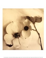 Sepia Dogwoods II