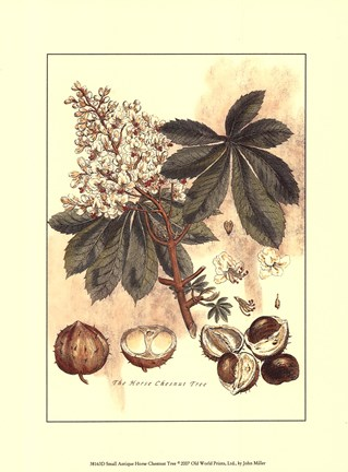 Framed Small Antique Horse Chestnut Tree Print