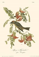 Pipiry Flycatcher Art