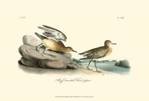 Framed Buff Breasted Sandpiper Print