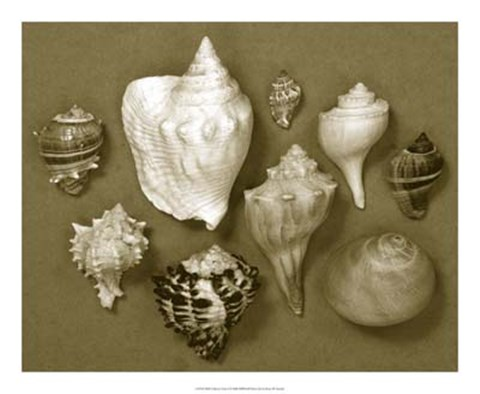 Framed Shell Collector Series I Print
