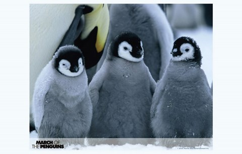 Framed March of the Penguins Baby Penguins Print