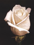 White Rose II Art