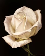 White Rose III  Fine Art Print