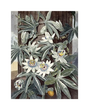 Framed Passion Flowers Print