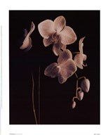 Orchid Study II