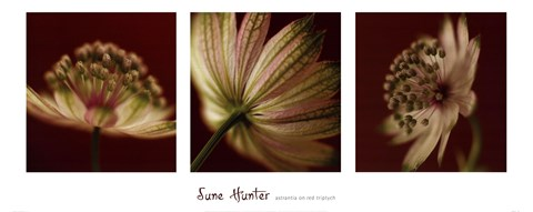 Framed Astrantia on Red Triptych Print