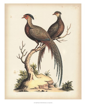 Framed Regal Pheasants II Print