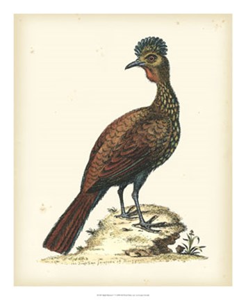 Framed Regal Pheasants V Print