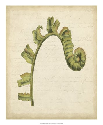 Framed Fiddlehead Ferns III Print
