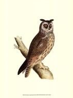 Long Eared Owl  Fine Art Print
