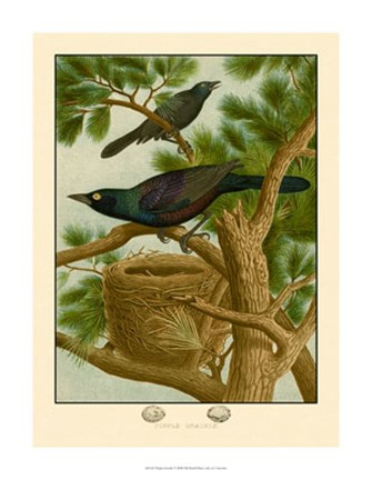 Framed Purple Grackle Print