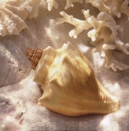 Coral Shell IV