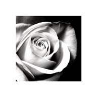 White Rose Art