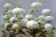 White Hydrangea Garden
