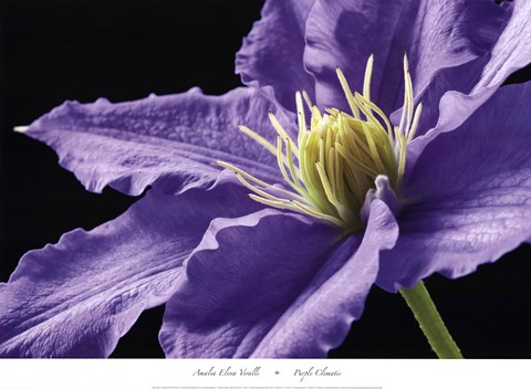 Framed Purple Clematis Print