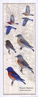 Western Bluebird