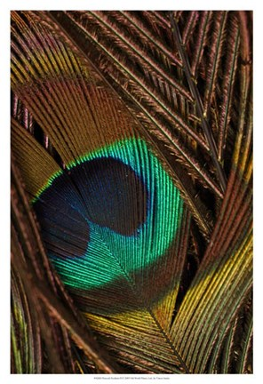 Framed Peacock Feathers II Print