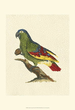 Framed Crackled Antique Parrot II Print
