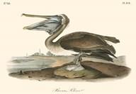 Brown Pelican  Fine Art Print