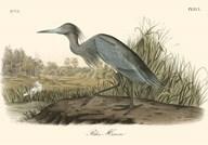 Blue Heron  Fine Art Print