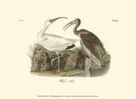 White Ibis  Fine Art Print