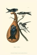 Purple Martin  Fine Art Print
