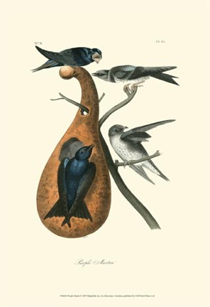 Framed Purple Martin Print
