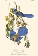 Audubon Florida Jays Art