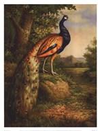Classic Peacock  Fine Art Print