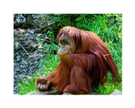 Orangutan - Giving it some thought  Fine Art Print