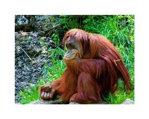 Framed Orangutan - Giving it some thought Print