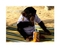 Chimp - Time for a drink  Fine Art Print