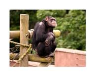 Chimp - The revelation  Fine Art Print