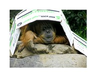 Orangutan - Give me shelter  Fine Art Print