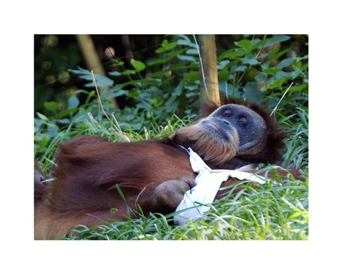 Framed Orangutan - Just about to take a nap Print