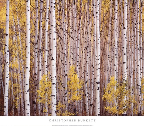 Framed Aspen Grove, Colorado Print