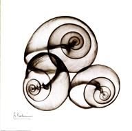 X-ray Snail Shells, Sepia  Fine Art Print